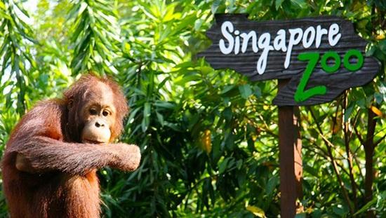 Vé Singapore Zoo là ngôi nhà giữa rừng mưa nhiệt đới